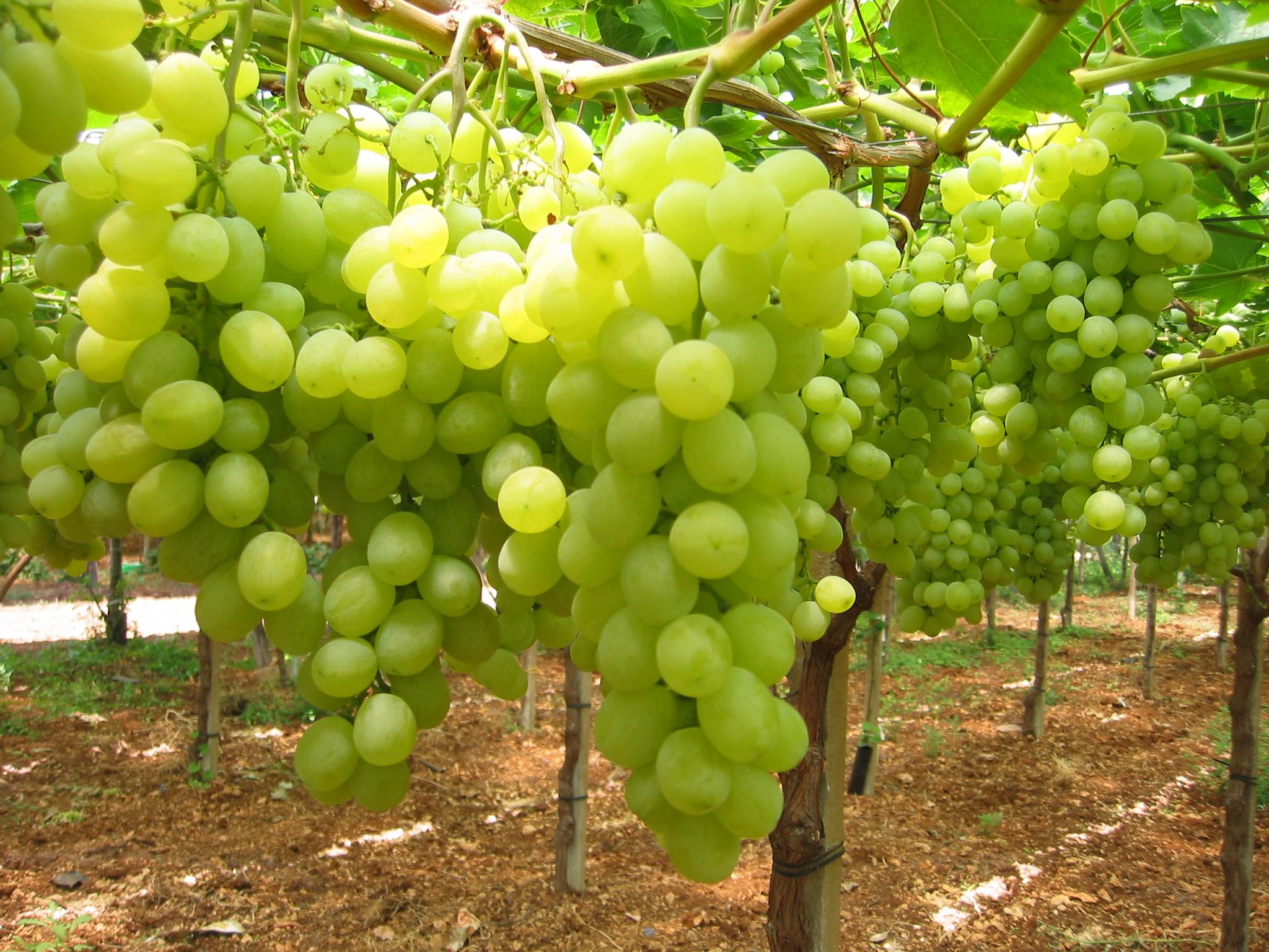 Uva da tavola giuliano al settore serve uno come - Piante uva da tavola ...
