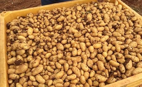 borsa patate