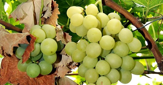 Per el ni o compromette la produzione dell 39 uva da tavola - Red globe uva da tavola ...