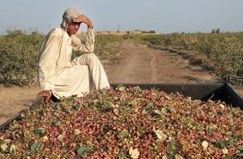 Risultati immagini per iran produzione agricola pistacchi