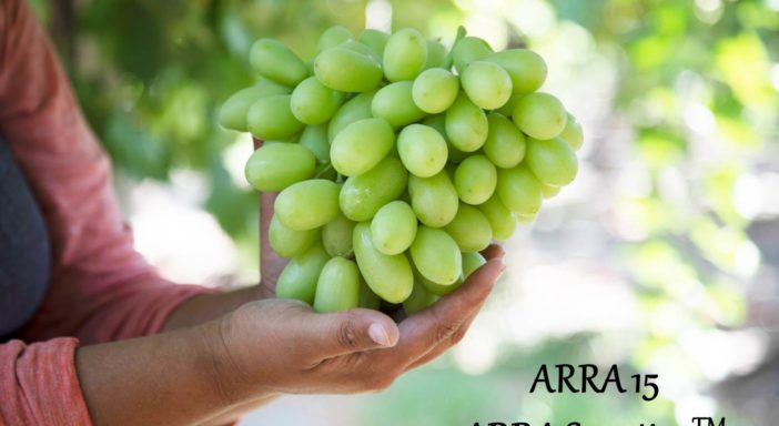 IN SICILIA OPEN DAY SULL'UVA APIRENE ARRA